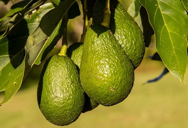 aguacate ecologico hass
