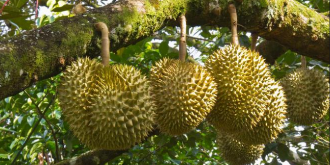 BENEFICIOS DURIAN