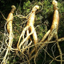 beneficios ginseng