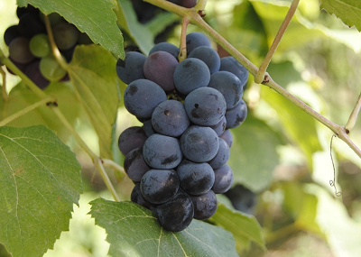 beneficios uvas